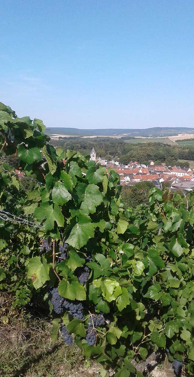 Organic Pinot Noir vineyard above the village of Avenay Val d'Or
